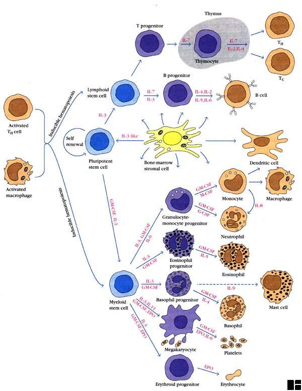 Kuby immunology (Book )